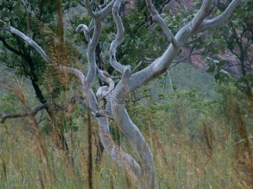 eucalyptus microtheca, east kimberley, WA